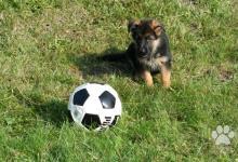 Inzercia psov: Nemecký ovčiak šteniatko s PP