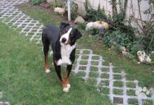 Inzercia psov: Darujem-Appenzellský salašnický pes