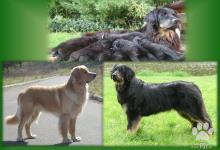 Inzercia psov: CHS nabízí štěňata hovawarta s PP