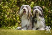 Inzercia psov: Bearded Collie krásná štěňátka s PP