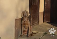 Inzercia psov: Predám psíka weimarského stavača.