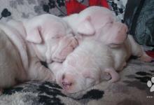 Inzercia psov: Argentínska doga Dogo Argentino