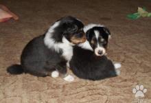 Inzercia psov: Šeltie trikolorní