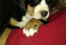 Inzercia psov: Volný pejsek velký švýcarský salašnický pes