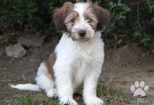 Inzercia psov: Tibetsky terier - pejsek s PP