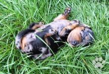 Inzercia psov: LUXUSNÝ TIGER-JAZVECIK, DASCHUND, DACKEL