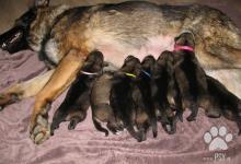 Inzercia psov: Predam nemeckeho ovciaka steniata