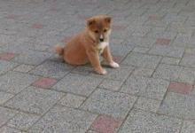 Inzercia psov: Predam Shiba inu