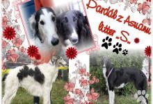 Inzercia psov: Barzoj - Ruský chrt - šteniatka
