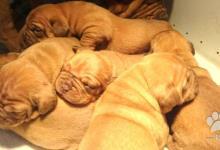 Inzercia psov: Predám šteniatka Bordeauxska doga