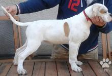 Inzercia psov: Americky bulldog