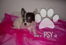 Inzercia psov: predam psika