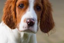 Inzercia psov: Írsky červeno-biely seter - šteňatá