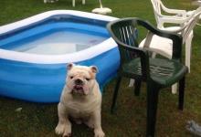 Inzercia psov: Anglický buldog na nakrytie