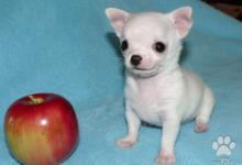 Inzercia psov: šteniatka čivava krátkorstá dlhosrstá mini