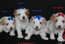 Inzercia psov: Golddust yorkshire terrier s PP