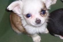 Inzercia psov: šteniatko čivavy