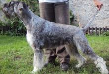 Inzercia psov: Bradac velky koreni a sol sten.s PP