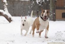 Inzercia psov: Kúpim Anglického bulteriéra