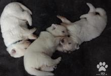 Inzercia psov: 3 steniatka BSO k odberu v 2.polovici Januara 2016