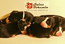 Inzercia psov: Velký švajciarsky salašnicky pes - štěňata