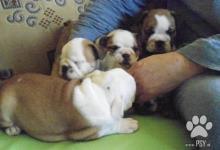 Inzercia psov: Prodám štěňata anglického bulldoga s PP