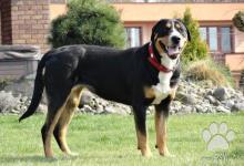 Inzercia psov: Štěňata Velkého švýcarského salašnického psa