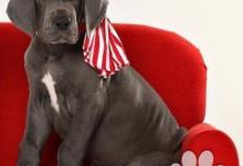 Inzercia psov: Nemecká doga modrá