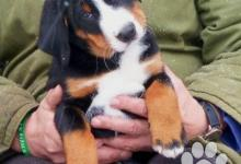 Inzercia psov: Appenzellský salašnický pes - štěně s PP