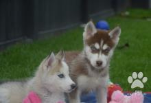 Inzercia psov: Šteniatka sibírsky husky