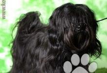 Inzercia psov: Havanský psík - štěňata s PP