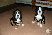 Inzercia psov: Veľký švajčiarsky salašnícky pes s PP