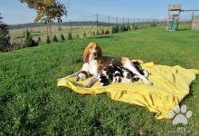 Inzercia psov: Nádherná štěňátka plemene Švajčiarsky durič