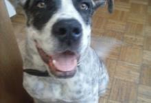 Inzercia psov: Predáme Kanársku Dogu