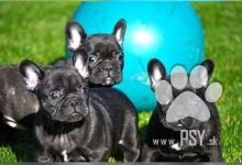 Inzercia psov: Francúzsky buldoček šteniatka na predaj