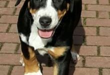 Inzercia psov: Prodám štěňata Velkého švýcars. salašnického psa
