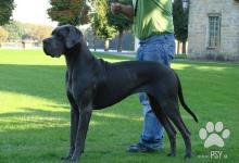 Inzercia psov: Prodej štěňat německá doga