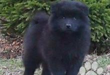 Inzercia psov: Německý špic velký černý prodám krásná štěňata s P