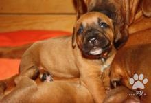 Inzercia psov: Puppies from World Winner 2013, 2014 !!!!