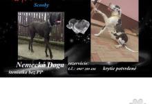 Inzercia psov: Nemecká doga bez PP