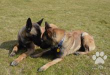 Inzercia psov: Belgický ovčiak - Malinois s PP
