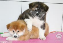 Inzercia psov: Japonská Akita šteňatá na predaj