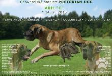 Inzercia psov: Německá doga - Štěňátka s PP na prodej