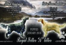 Inzercia psov: Překrásné štěně anglického setra s PP (FCI)