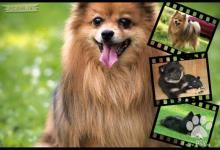Inzercia psov: Německý špic - kvalitní štěňátka