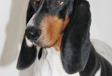 Inzercia psov: Bernský Ďurič štěňátka