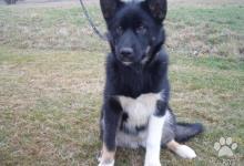 Inzercia psov: Grónský pes - štěňata s PP