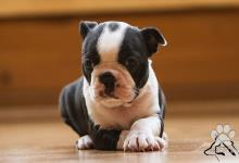 Inzercia psov: BOSTONSKÝ TERIÉR - štěňata s PP