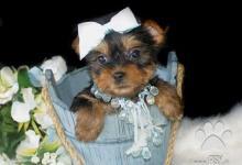 Inzercia psov: Yorkšírský teriér na prodej s PP