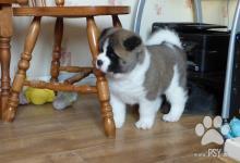 Inzercia psov: Akita-inu na prodej s PP